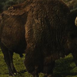 American Bison New York Zoo...