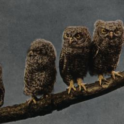 Young Screech Owls New York...