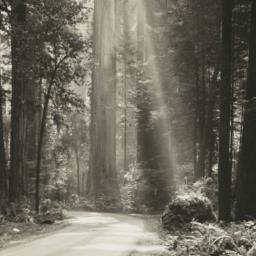 Redwoods in Northern Califo...
