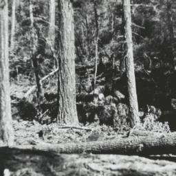 Logging at Mescalero, New M...