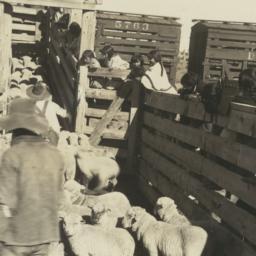 Loading Jicarilla Lambs at ...