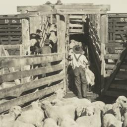 Loading of Jicarilla Lambs ...