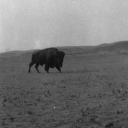 Buffalo on a Field